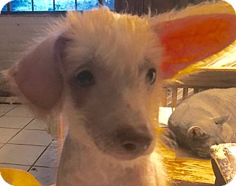 Chinese Crested/Terrier (Unknown Type, Small) Mix Puppy for adoption in Tucson, Arizona - Vincent