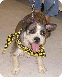 Wirehaired Fox Terrier/Terrier (Unknown Type, Medium) Mix Dog for adoption in Lafayette, Louisiana - Fletcher