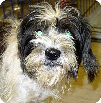 Shih Tzu Mix Dog for adoption in Melrose, Florida - Zooie