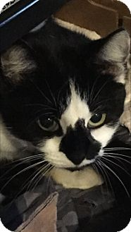 Domestic Shorthair Cat for adoption in Charlotte, North Carolina - A..  Scarlett