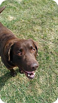Labrador Retriever Mix Dog for adoption in Laingsburg, Michigan - Barney