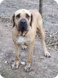 Fila Brasileiro Dog for adoption in Pipe Creed, Texas - Frank