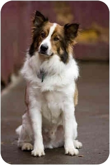 Australian Shepherd/Border Collie Mix Dog for adoption in Portland, Oregon - Toby