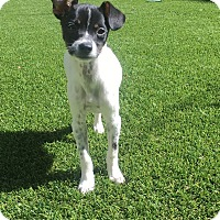 Chihuahua/Miniature Pinscher Mix Puppy for adoption in Coppell, Texas - Penny