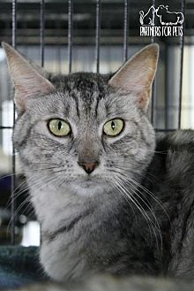 Domestic Shorthair Cat for adoption in Troy, Illinois - Buffy