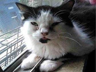 Domestic Mediumhair Cat for adoption in San Antonio, Texas - A440178