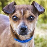 Adopt A Pet :: Starsky - El Cajon, CA