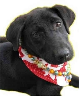 Labrador Retriever/Shepherd (Unknown Type) Mix Puppy for adoption in Encino, California - Gucci
