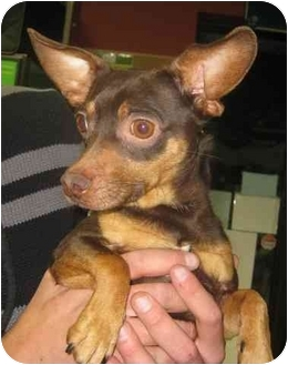 Chihuahua Mix Dog for adoption in Calgary, Alberta - Dawsey