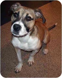 Boxer/Hound (Unknown Type) Mix Puppy for adoption in Marietta, Georgia - Stetson