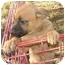 Photo 2 - Boxer Mix Puppy for adoption in Fulton, Missouri - Sandy
