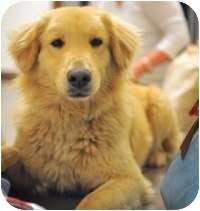 Golden Retriever Mix Dog for adoption in Scottsdale, Arizona - Tommy