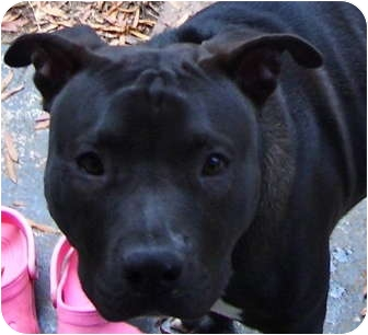 American Staffordshire Terrier/American Pit Bull Terrier Mix Dog for adoption in Atlanta, Georgia - Blue