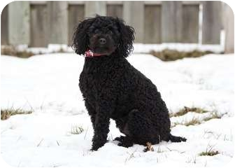 Poodle (Miniature) Dog for adoption in Ile-Perrot, Quebec - Higgins