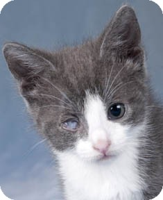 Domestic Shorthair Kitten for adoption in Chicago, Illinois - Storm