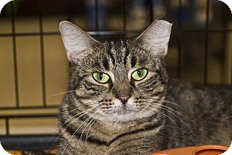 Domestic Shorthair Cat for adoption in New Port Richey, Florida - Poppy