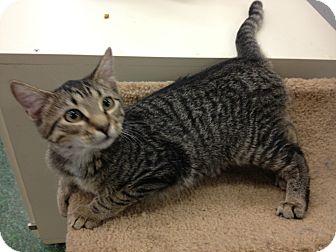 Domestic Shorthair Kitten for adoption in Chandler, Arizona - Louise