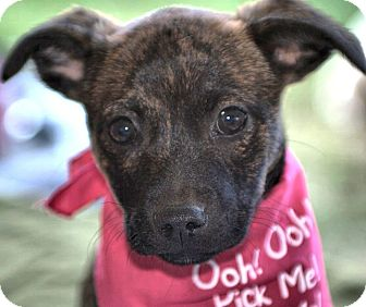Chihuahua/Shih Tzu Mix Puppy for adoption in Wakefield, Rhode Island - JEZABELLE(SO TINY-SO ADORABLE!