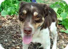 Jack Russell Terrier Dog for adoption in Conway, Arkansas - Jack