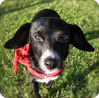 Beagle/Chihuahua Mix Dog for adoption in El Cajon, California - Jessica