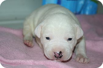Pit Bull Terrier/Terrier (Unknown Type, Medium) Mix Puppy for adoption in Westfield, Indiana - Baby Girl 1