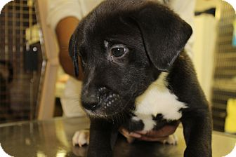 Labrador Retriever/Shepherd (Unknown Type) Mix Puppy for adoption in Waldorf, Maryland - London