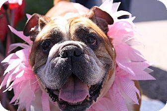 English Bulldog Dog for adoption in Chicago, Illinois - Wendy