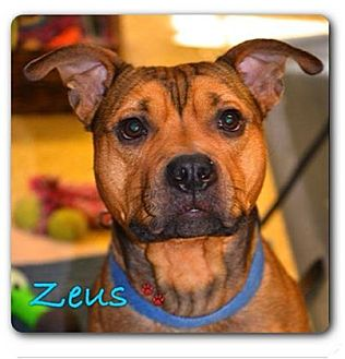 Pit Bull Terrier/Husky Mix Puppy for adoption in Maryville, Illinois - Zeus