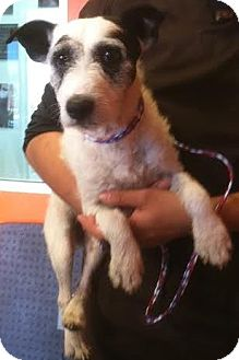 Jack Russell Terrier Dog for adoption in Westminster, California - Dierdre