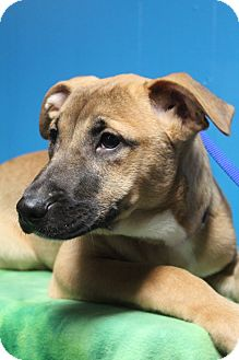 Labrador Retriever/German Shepherd Dog Mix Puppy for adoption in Hagerstown, Maryland - Nala