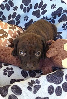 Labrador Retriever Mix Puppy for adoption in Kimberton, Pennsylvania - Peter