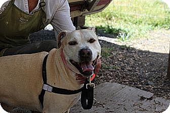 American Staffordshire Terrier/Labrador Retriever Mix Dog for adoption in Eugene, Oregon - Fawn