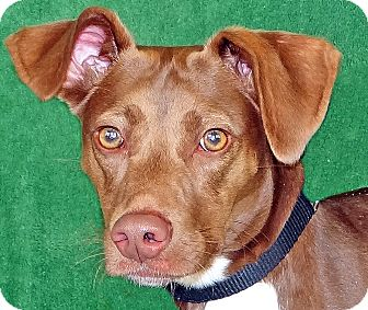 Labrador Retriever/Beagle Mix Dog for adoption in Renfrew, Pennsylvania - Tucker