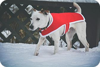 Jack Russell Terrier Mix Dog for adoption in Blue Bell, Pennsylvania - Jagr