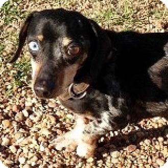 Dachshund Dog for adoption in Houston, Texas - Bruce Bouquet