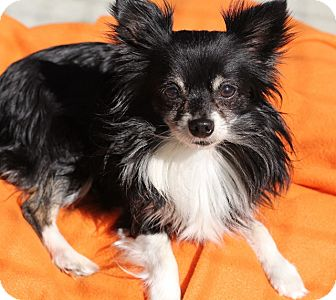Pomeranian/Chihuahua Mix Dog for adoption in Grants Pass, Oregon - Lucky