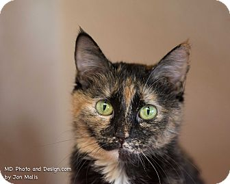 Domestic Shorthair Cat for adoption in Fountain Hills, Arizona - Joy