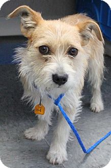 Terrier (Unknown Type, Small) Mix Dog for adoption in Gustine, California - WEBSTER