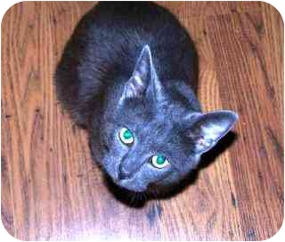 Russian Blue Cat for adoption in Houston, Texas - Ted