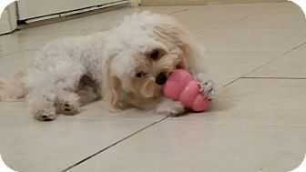 Maltese/Poodle (Toy or Tea Cup) Mix Puppy for adoption in Weeki Wachee, Florida - Star