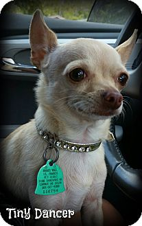 Chihuahua Mix Dog for adoption in Brattleboro, Vermont - Tiny Dancer