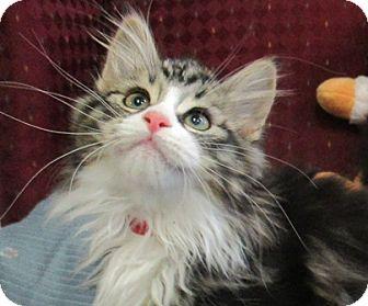 Domestic Longhair Kitten for adoption in Lloydminster, Alberta - Aphrodite