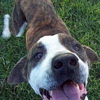 American Bulldog/American Bulldog Mix Dog for adoption in Houston, Texas - Jeff (courtesy post)