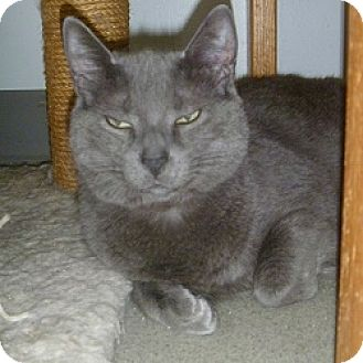 Domestic Shorthair Cat for adoption in Hamburg, New York - Payton