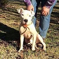 American Bulldog Mix Dog for adoption in Slidell, Louisiana - Churchill