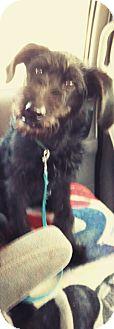 Standard Poodle/German Shepherd Dog Mix Puppy for adoption in Coats, North Carolina - Snuggles