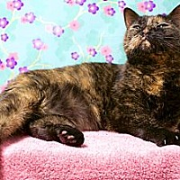 Domestic Shorthair Cat for adoption in Houston, Texas - Mouzzie