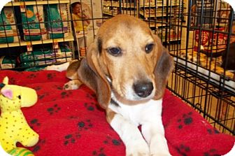 Beagle Puppy for adoption in Fenton, Missouri - Julip