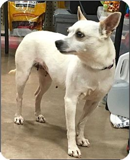 Chihuahua Mix Dog for adoption in San Antonio, Texas - Cindyrella