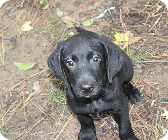 Labrador Retriever/Hound (Unknown Type) Mix Puppy for adoption in kennebunkport, Maine - Stark - PENDING, in Maine
